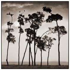 Nick Brandt, Storks in Treetops, Maasai Mara, 2002