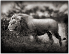 Nick Brandt, Windswept Lion, Serengeti, 2002