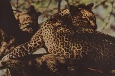 Sheila Metzner, Leopard. Kenya. 1997