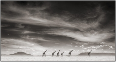 Nick Brandt, Giraffes Under Swirling Clouds, Amboseli, 2007