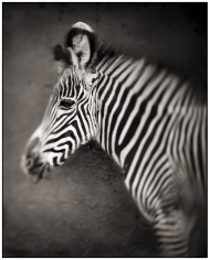 Nick Brandt, Portrait of Baby Zebra, Lewa Downs, 2002