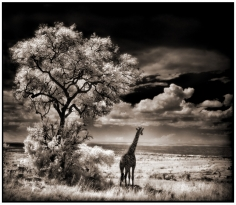 Nick Brandt, Giraffe Looking Over Plains, Serengeti, 2002
