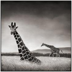 Nick Brandt, Sitting Giraffe, Aberdares, 2000