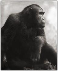 Nick Brandt, Chimpanzee Posing, Mahale, 2003