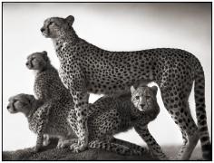 Nick Brandt, Cheetah & Cubs, Maasai Mara 2003