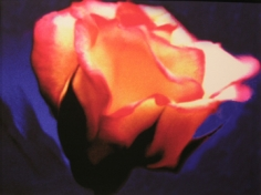 Lillian Bassman, Flower 30 (Orange and Pink Rose), 2006