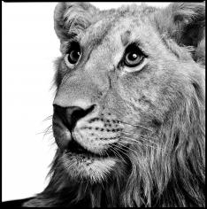 Patrick Demarchelier, Lion, 1997