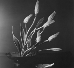 Horst P. Horst, Kniphofia (Red Hot Poker – Torch Lily), New York, 1957