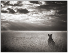 Nick Brandt, Lioness Looking Out Over Plains, Maasai Mara, 2004