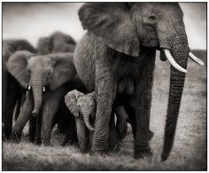Nick Brandt, Elephant Mother and Two Babies, Serengeti, 2002