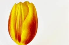 Joel Grey, Tulip, circa 2018