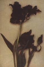 Sheila Metzner, Flower, 2000 (Black Parrot Tulip)
