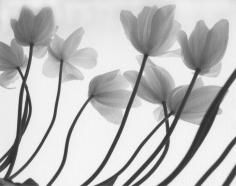Firooz Zahedi, White Tulips, 1999