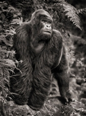 Nick Brandt, Gorilla on Rock, Parc des Volcans, 2008
