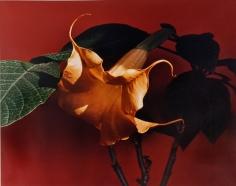 Horst, Datura (Trumpet Flower), c. 1985