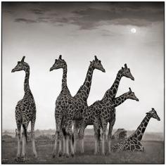Nick Brandt, Giraffe Fan, Aberdares, 2000
