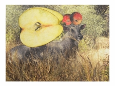 Avishek Sen, Untitled (Cow and Apples), 2014, Watercolor and collage on print, 12.50 x 17 in