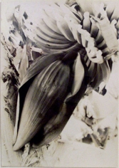 Banana Blossom, Bermuda, 1933, vintage gelatin silverprint