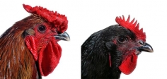 KOEN VANMECHELEN Mechelse Giant (Rooster and Hen) 2002/2009, lambdaprint on forex, 47.25 x 47.25 inches (each).