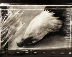 Bald Eagle Pelt, 1985, 	Gelatin silver print mounted to board, printed c. 1985