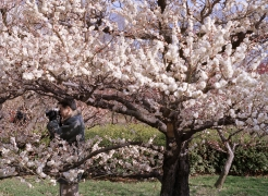 Plum Blossoms, 2001-2006