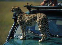 Kenya Wildlife Trust: Mara Cheetah Project