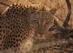 Leopards Have Lost 75% of their Historical Habitat-April 2016