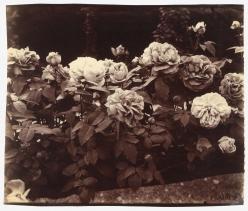 Eugene Atget  Rose Garden, Bagatelle, Paris, France, ca. 1921