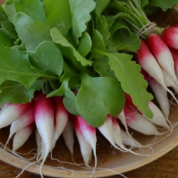 Breakfast Radishes