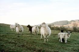Sheep, 2008 c-print