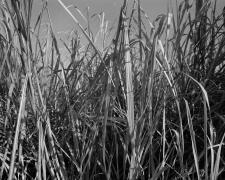 Sugarcane I, 2019
