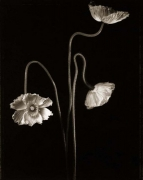 3 Poppies #1, 1997, 33-3/4 x 25-3/4 Toned Silver Gelatin Photograph, Ed. 10