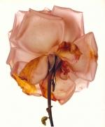 Irving Penn Rose, Blue Moon, London, 1970/ 1989
