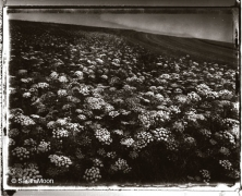 Ombelliferes, 1993, 15-3/4 x 19-1/2 Toned Silver Gelatin Photograh, Ed. 20