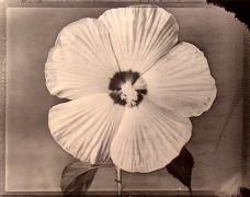 """Hibiscus"", 1997 (TB 544), 24 x 20 Toned Silver Gelatin Photograph, Ed. 25"