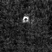 A.J. Through Hedge, Westbury Gardens, New York, 2000, Archive Number: SSB-0400-138-01, 16 x 20 Silver Gelatin Photograph