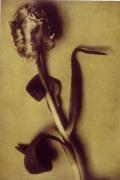Parrot Tulip One, 1998, 19 x 12-7/8 Fresson Print, Ed. 15
