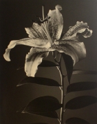 """""""Lily"""", 1998 (TB# 598), 24 x 20 Toned Silver Gelatin Photograph, Ed. 25"""