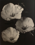 """Evening Primrose"", 1998 (TB# 572), 24 x 20 Toned Silver Gelatin Photograph, Ed. 25"