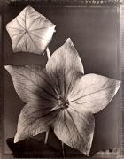 """Balloon Flower "", 1997 (TB 551), 24 x 20 Toned Silver Gelatin Photograph, Ed. 25"