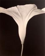 """Morning Glory (vert)"", 1997 (TB 550), 24 x 20 Toned Silver Gelatin Photograph, Ed. 25"