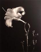 """Daylily"", 1998 (TB 581), 24 x 20 Toned Silver Gelatin Photograph, Ed. 25"