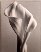 """Calla Lily "", 1998 (TB 563), 24 x 20 Toned Silver Gelatin Photograph, Ed. 25"