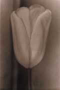 Tulip, 1977, 31-5/8 x 23-7/8 Fresson Print, Ed. 15