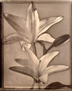 """""""Solarized Lilies"""", 1996 (TB 499), 24 x 20 Toned Silver Gelatin Photograph, Ed. 25"""