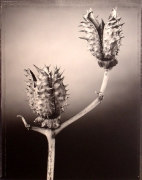 """""""Pod with Thorns"""", 1999 (TB 664), 24 x 20 Toned Silver Gelatin Photograph, Ed. 25"""