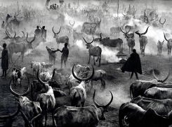 Dinka cattle camp of Amak at the end of the day when the herd is back in the camp for the night. This is the most active time in the camp, Southern Sudan 2006, 16 x 20 inches, Silver Gelatin Photograph