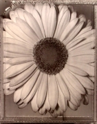"""African Daisy "", 1996 (TB 478), 24 x 20 Toned Silver Gelatin Photograph, Ed. 25"