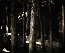 Tahoe Trees, Unique Collodion Wet Plate: please contact the gallery for details
