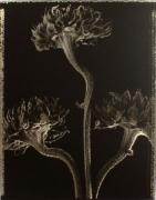 """3 Dried Sunflowers"", 1996 (TB# 504), 24 x 20 Toned Silver Gelatin Photograph, Ed. 25"